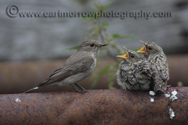 Spotted Flycatcher feeding chicks.