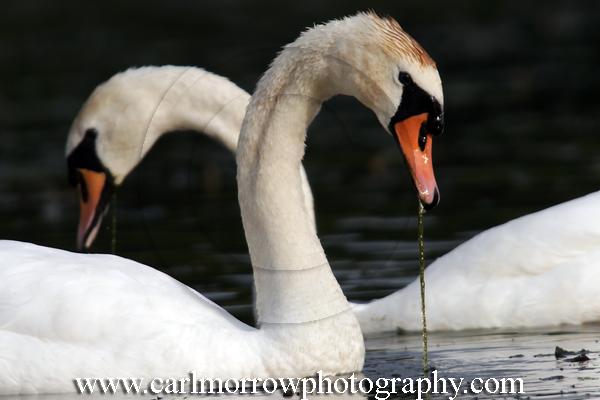 Mute Swans feeding