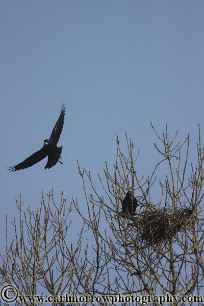 Rooks building their nest.