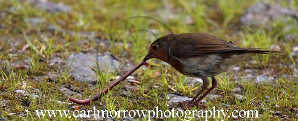 Robin and Earthworm.
