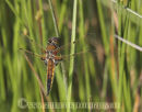 Four Spotted Chaser Dragonfly.