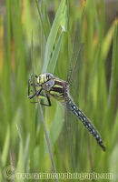 Hairy Dragonfly (male)
