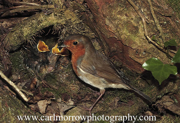 Robin at the nest with her chicks.