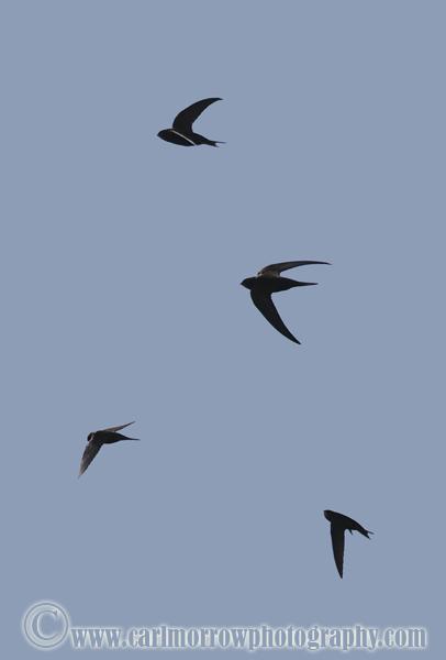 Swifts in flight.