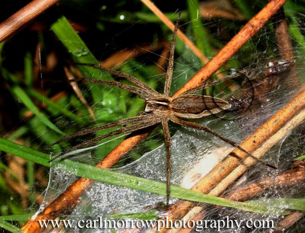 Female Wolf Spider protecting her young.