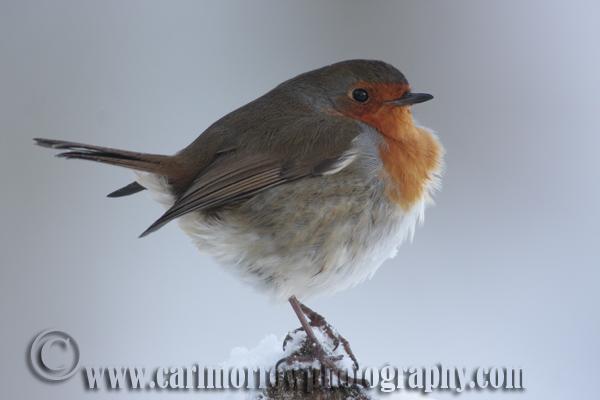 Robin in Winter.