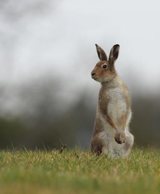 irish hare