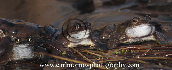 A trio of Frogs