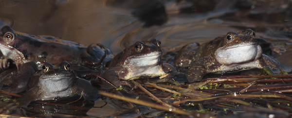 Common Frogs