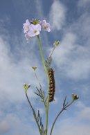 Drinker Moth Caterpillar on a Cuckoo Flower