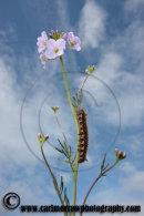 Caterpillar on a Cuckoo Flower