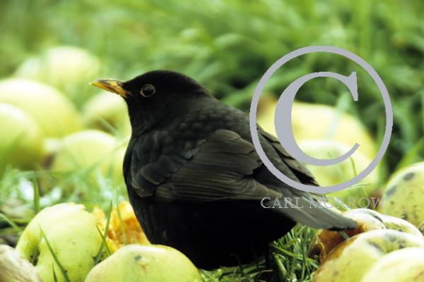 Blackbird in an Apple Orchard