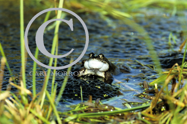 Croaking Frog