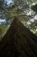 Upward view of Giant Redwood
