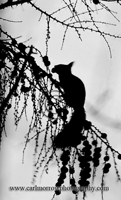 Red Squirrel in silhouette