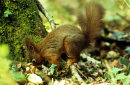 Red Squirrel caching acorns.