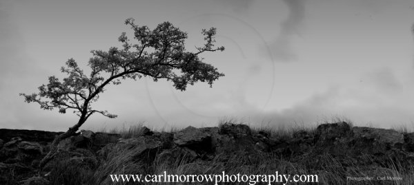 Stunted Tree on Cuilcagh Mountain, County Cavan, Ireland. (b&w)