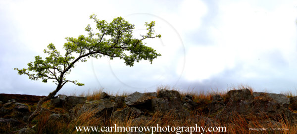 Stunted tree Cuilcagh Mountain, County Cavan, Ireland.