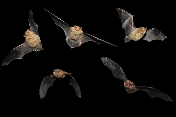 Pipistrelle Bats in flight (5 exposures)