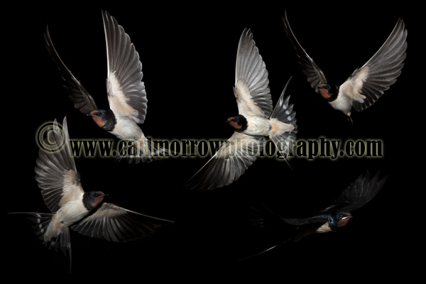 Swallows in flight. (multi layered composite image)