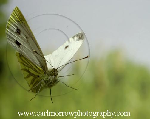 Green Veined White Butterfly in flight.