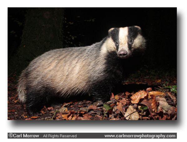 Badger in Autumn