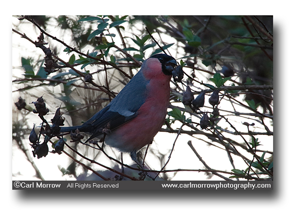 Male Bullfinch feeding.