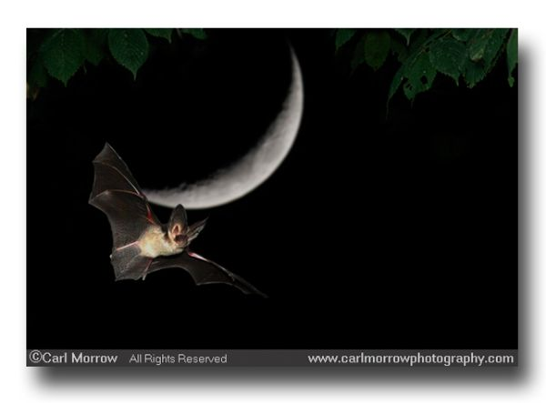 long eared bat in flight
