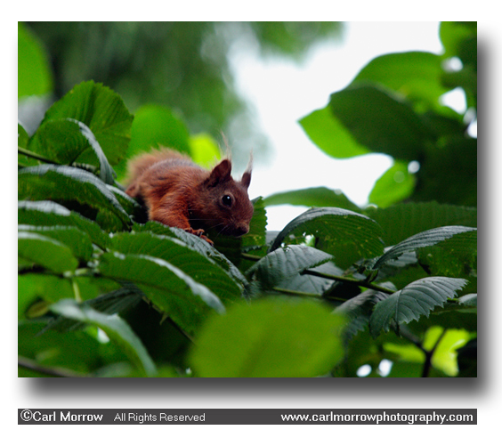 Red Squirrel in the tree tops