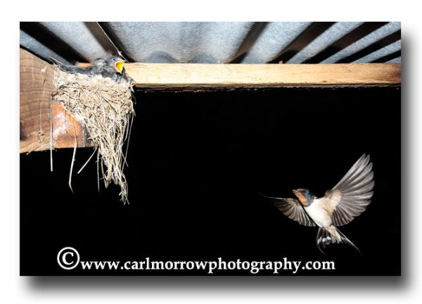 Swallow returning to the nest