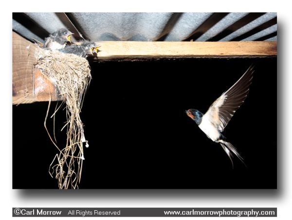Swallow returning to the nest with food.