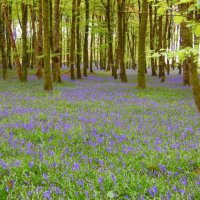Bluebell Wood - Coinnle corra