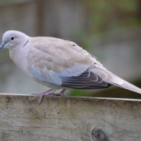 Collared Dove - Fearán baicdhubh