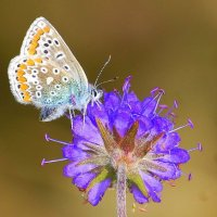 Common Blue - Gormán coiteann