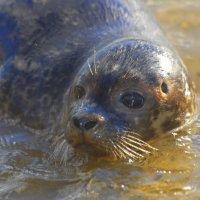 Common Seal - Rón beag