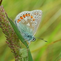 Common  Blue Gormán coiteann