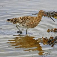 Curlew - Crotach