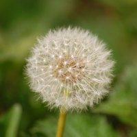 Dandelion - Caisearbhán