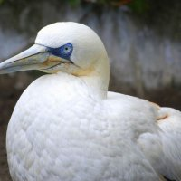 Gannet - Gainead