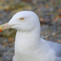 Glaucous Gull 1 - Faoileán glas