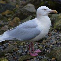 Glaucous Gull - Faoileán glas