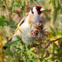 Goldfinch - Lasair choille