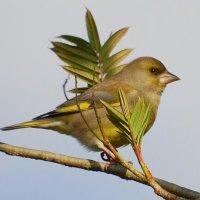 Greenfinch - Glasán darach