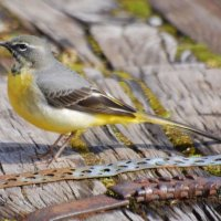 Grey Wagtail 1 Glasóg liath
