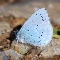 Holly Blue - Gormán cuilinn