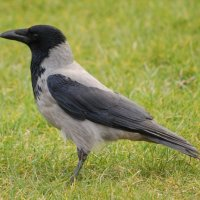 Hooded Crow - Caróg liath