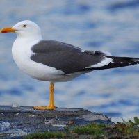Lesser Black-backed Gull - Droimneach beag