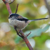Long-tailed Tit  - Meantán earrfhada