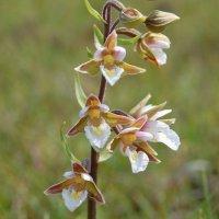 Marsh Helleborine - Cuaichín corraigh