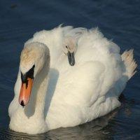 Mute Swan - Eala bhalbh